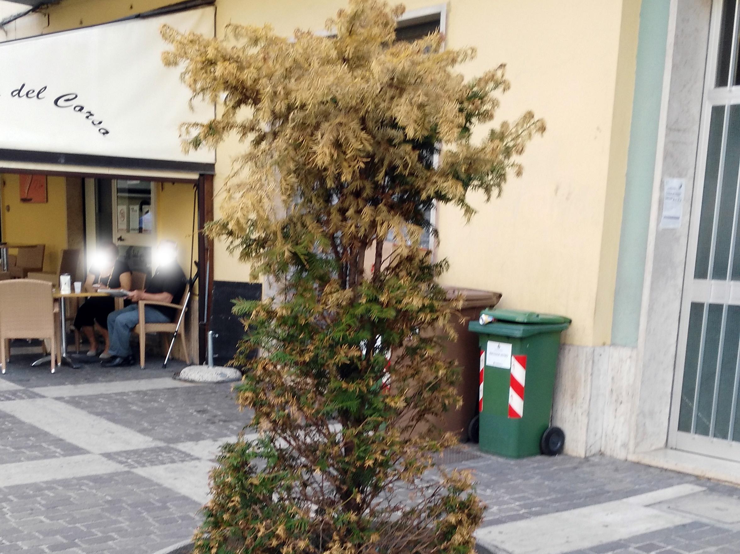 Corso Campano piante secche
