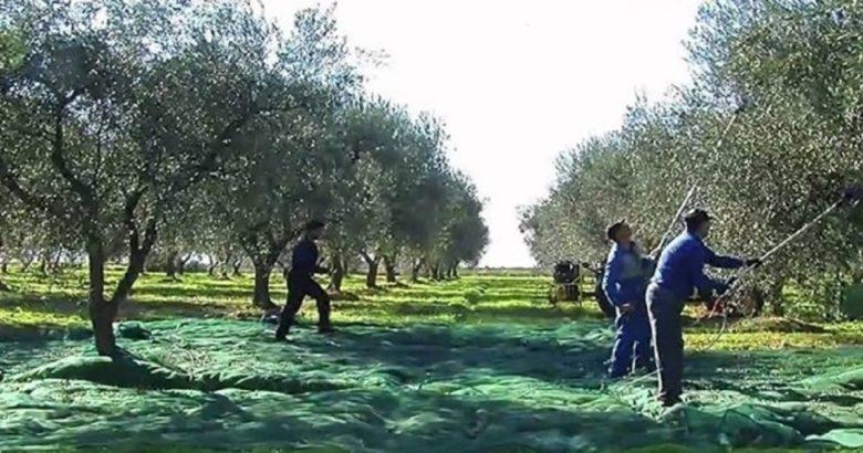 immigrati raccolte olive