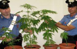 piantine marijuana