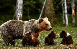 orsa con i piccoli