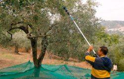 raccolta olive abbacchiatore