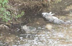 VENAFRO – Torrente Rava, animali morti e schiuma bianca