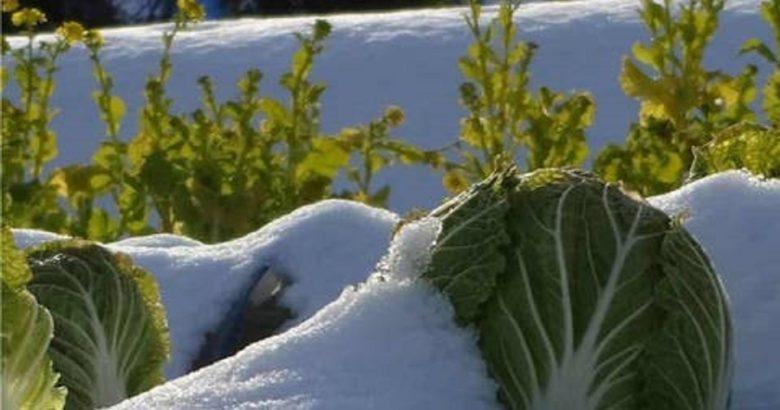 ortaggi sotto la neve