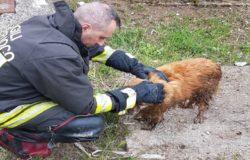 VENAFRO - Cane finisce nel torrente Rava, salvato dai Vigili del Fuoco