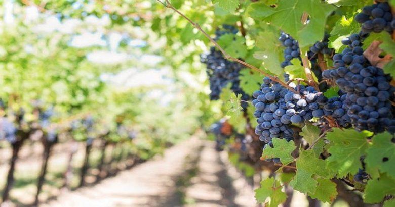 campagna vitivinicola