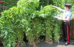 piantagione droga