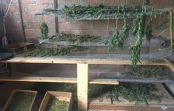 Coltivava ed essiccava marjiuana, business di circa 260mila euro arrestato bracciante agricolo 32enne