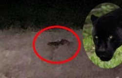 avvistata una pantera