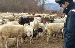 Pastore sfruttato e sottopagato