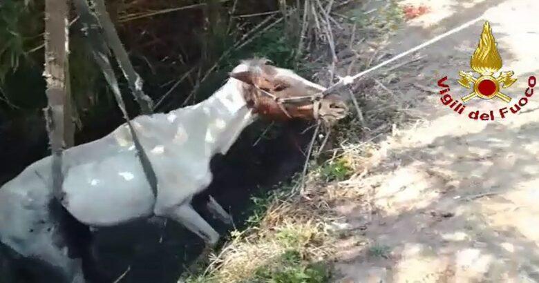 Cavallo, canale, annegare, salvato, Vigili del Fuoco