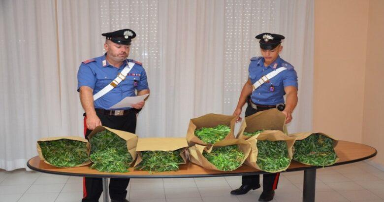 piantagione, marijuana, arrestato